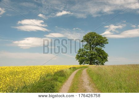 Russian oak (Russeneiche) with rapefields an old oak tree ca. 450 years old. Natural monument growing between Rehbach and Langen-Bronbach