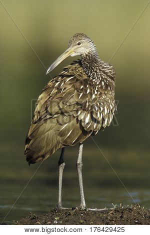 A Limpkin, Aramus guarauna poses while standing on a Florida mudflat