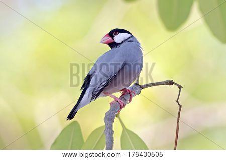 Java sparrow Java finch Lonchura oryzivora Cute Birds of Thailand