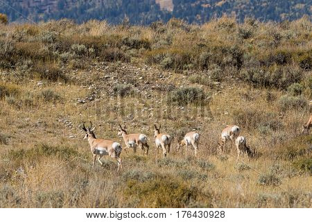 a herd of pronghorn antelope during the fall rut in Wyoming