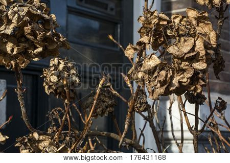 Withered brown plants with a building as background
