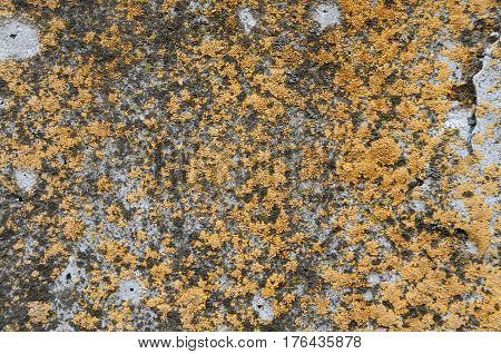 Old concrete wall covered with yellow lichen