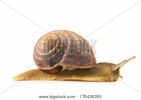 Snail on a white background, studio shot