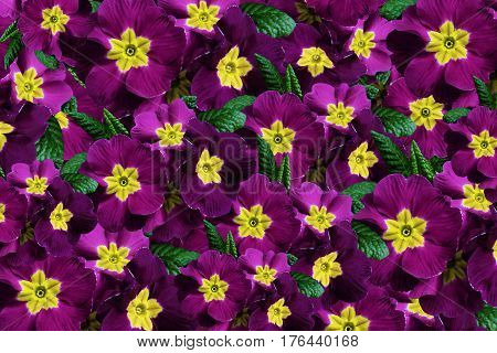 Flowers background. Flowers violet-crimson violets. Much violets with a yellow center. floral collage. flowers composition. Nature. 3D illustration.