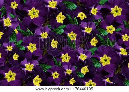 Flowers background. Flowers violet violets. Much violets with a yellow center. floral collage. flowers composition. Nature.