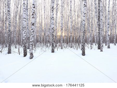 Birch grove in winter at sunset. Snow among trees