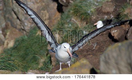 Black-browed albatross flying in West Point Island, Falklands