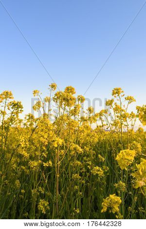 Farm Field of Yellow Canola Flowers in Spring