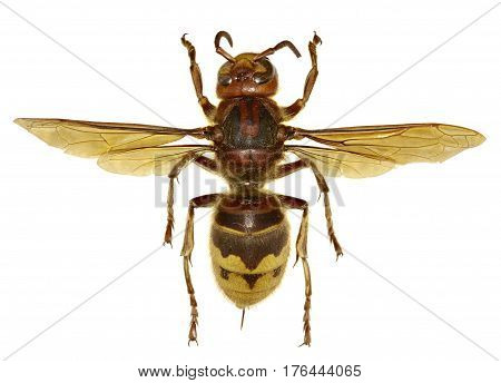 European Hornet on white Background - Vespa crabro (Linnaeus 1758)
