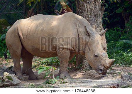 Еру huge rhino standing near the tree