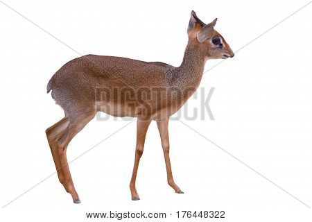 Antelope dik-dik isolated on a white background
