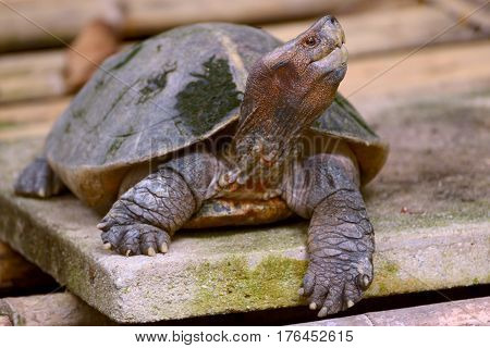 Portrait of a turtle giant asian pond turtle