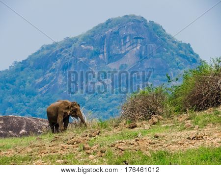 Giant Asian Elephant feeds on Grass Vegetation in a mountain island of a National Park in Sri Lanka