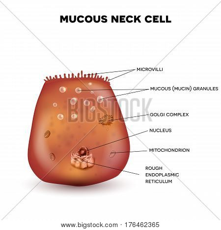 Mucous Neck Cell