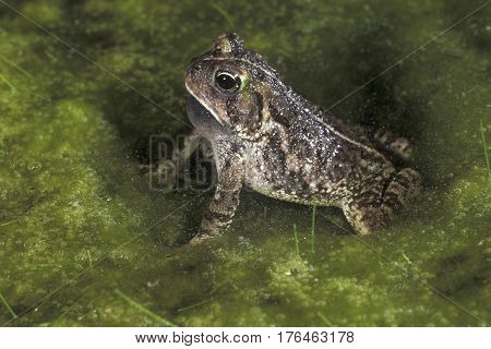 A Fowler's Toad, Anaxyrus fowleri sitting in a shallow pond with green algae