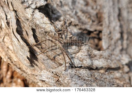 Wolf spider ready for attack camouflaged on tree bark