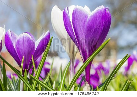 Purple crocuses and green grass in a city park in the Netherlands