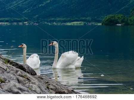 Swans Family With Cygnets At Hallstaettersee Lake. Hallstatt, Salzkammergut Region, Austria