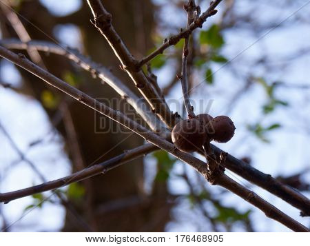 Walnut tree (Juglans regia) branch with fruits. green leaves background