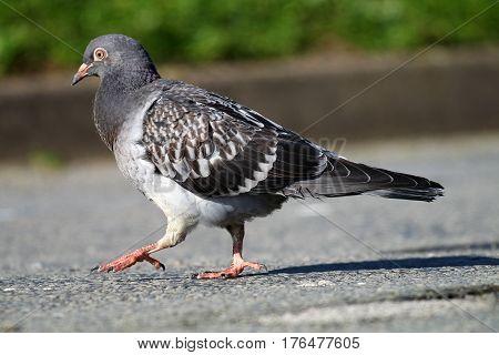 A juvenile feral pigeon strutting across a road