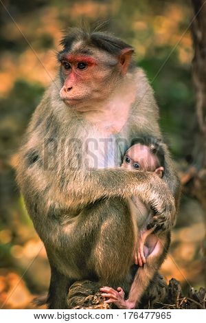 A wild macaque monkey family in a national park in India