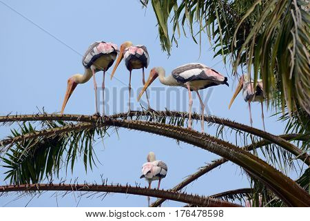 Storks on palm tree branches фgainst the sky