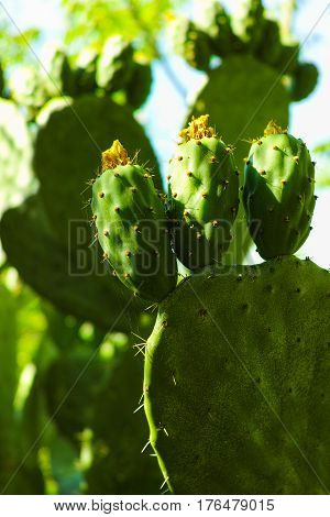 Edible cactus prickly pear opuntia with unripe fruits