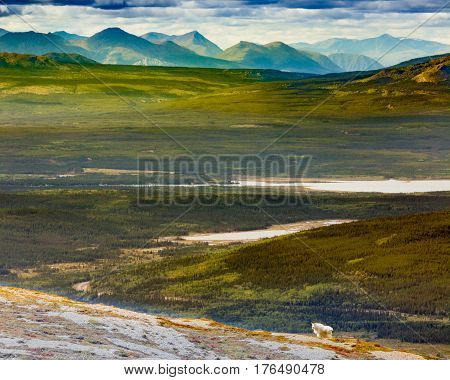 Mountain Goat Oreamnos Americanus Yukon Canada
