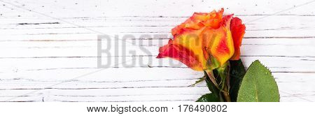 Roses on white wooden background. Selective focus.