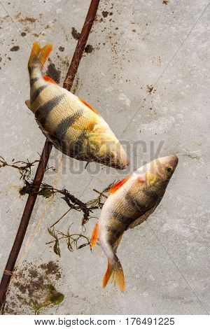 Fish perch on ice of the river in winter