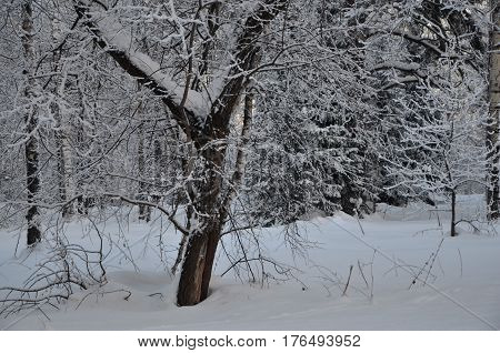 snow covered forest. Strong frosts. Branches in the snow