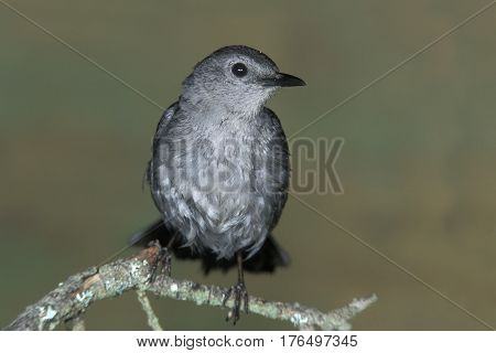 A Gray Catbird, Dumetella carolinensis wet on a branch after a bath in a small pond in the forest