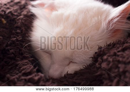 White cat. Sleeping. Turkish angora. Animal. Domestic.