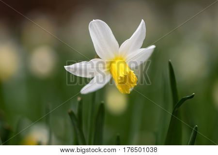 Daffodil Narcissus February Gold flower. Yellow and white flower of spring perennial plant in the Amaryllidaceae (amaryllis) family in Bath Botanical Gardens UK