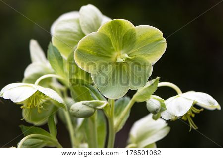 Corsican hellebore (Helleborus argutifolius) flowers. Green flowers of perennial plant in buttercup family (Ranunculaceae) aka holly-leaved hellebore native to Corsica and Sardinia