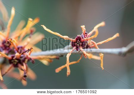 Witch hazel (Hamamelis x intermedia Jelena) flower. Detail of extraordinary red flower of shrub cultivar in the family Hamamelidaceae with long petals