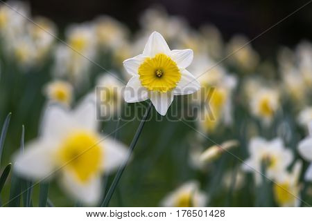 Daffodil Narcissus Ice Follies flowers. Large-cupped yellow and white flower of spring perennial plant in the Amaryllidaceae (amaryllis) family in Bath Botanical Gardens UK