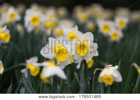 Daffodil Narcissus Holland Sensation flowers. Large-cupped yellow and white flower of spring perennial plant in the Amaryllidaceae (amaryllis) family in Bath Botanical Gardens UK