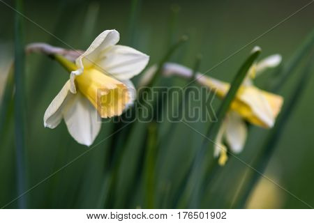Daffodil Narcissus Waterperry flowers. Dainty yellow and ivory white flower of spring perennial plant in the Amaryllidaceae (amaryllis) family in Bath Botanical Gardens UK