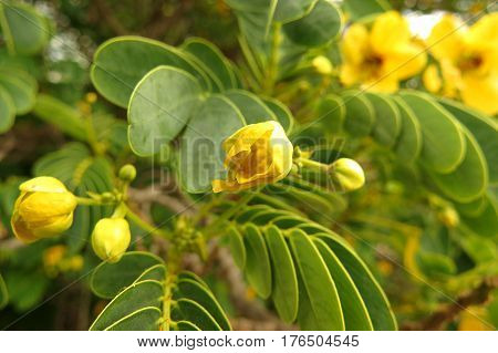 Outback Cassia Bloodbush evergreen shrub with yellow flower buds in an Australian garden
