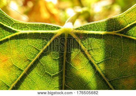 Close-up macro of sunlight through top edge of a grape vine leaf
