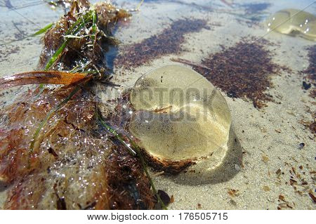 Conical sea snail egg sac jellyfish crescent in beach water with seaweed