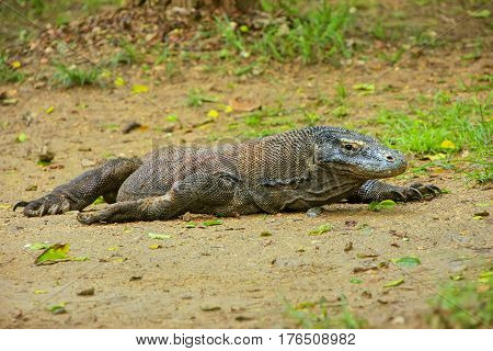 Komodo Dragon Lying On The Ground On Rinca Island In Komodo National Park, Nusa Tenggara, Indonesia