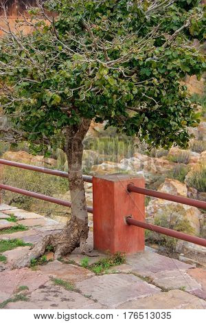 Tree growing out of stone path in Jaigarh Fort near Jaipur Rajasthan India. The fort was built by Jai Singh II in 1726 to protect the Amber Fort