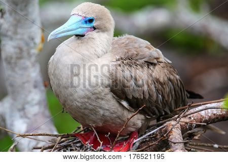 Red-footed booby (Sula sula) sitting on a nest Genovesa island Galapagos National Park Ecuador