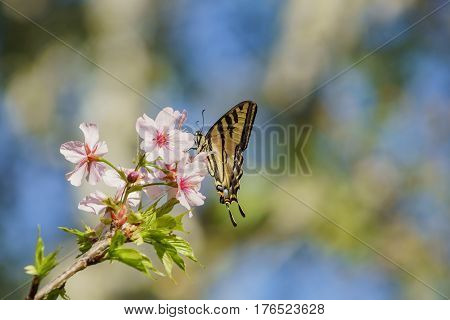 Beautiful Cherry Blossom With Butterfly At Schabarum Regional Park