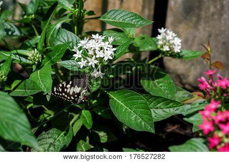 A butterfly feeding on ixora flower in sunshine