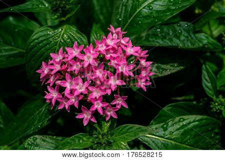 Ixora is a genus of flowering plants in the Rubiaceae family. Ixora flowers in the garden at the park