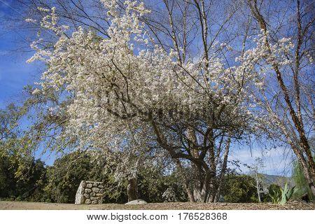 Beautiful Flowering Crabapple Flower Blossom At Descanso Garden
