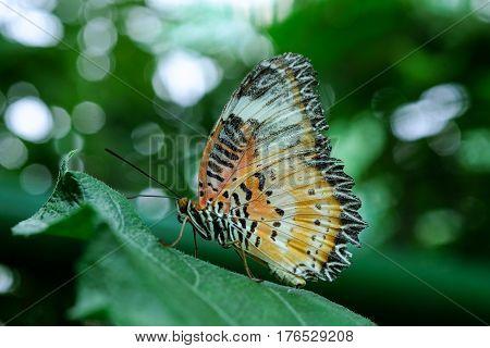 A tiger butterfly feeding on green leaf in a summer garden